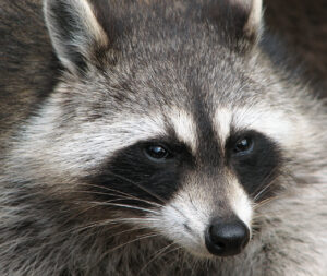 Naperville Raccoon removal and raccoon trapping