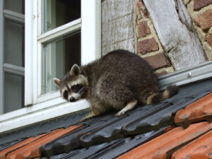 Downers Grove Raccoon Removal