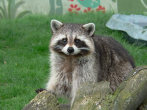 Raccoon removal and raccoon control services